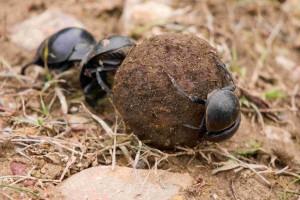 dung_beetle